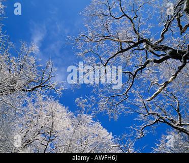 View upwards into snow-covered treetops, North Rhine-Westphalia, Germany, Europe - Stock Photo