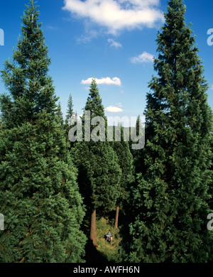 Giant Sequoia trees (Sequoiadendron giganteum) circa 38 metres tall, and people standing in front, Germany, Europe - Stock Photo