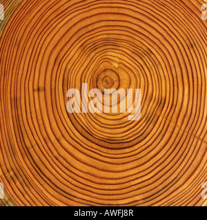 Larch (Larix) tree trunk cross-section: tree rings - Stock Photo