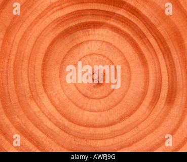 Tree trunk cross-section: tree rings - Stock Photo