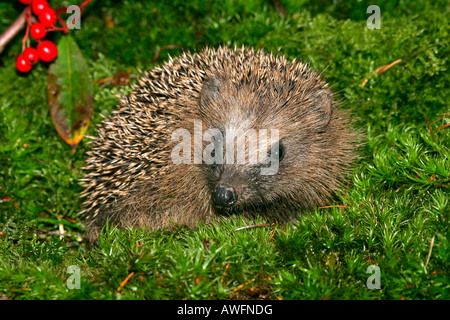 Young hedgehog in autumn (Western Hedgehog) (European Hedgehog) - Stock Photo