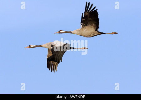 Couple of flying common cranes (Grus grus) - Lake Hornborga, Sweden, Europe, - Stock Photo