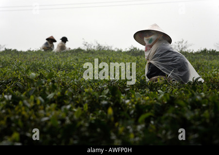 Tea pickers on a state-owned tea plantation, Tieu Khu 69, Son La Province, Vietnam, Asia - Stock Photo