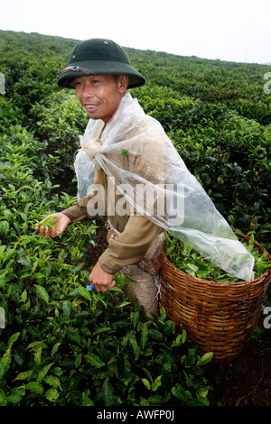 Tea picker on a state-owned tea plantation, Tieu Khu 69, Son La Province, Vietnam, Asia - Stock Photo