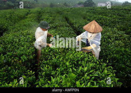 Tea pickers on a state-owned tea plantation, Tieu Khu 69, Son La Province, Vietnam, Asia - Stock Photo