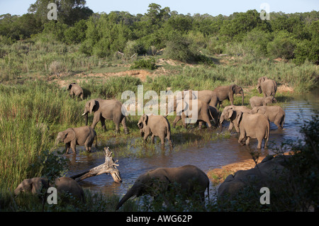 Herd of African Elephants (Loxodonta africana) crossing a shallow river, Kruger Park, South Africa - Stock Photo
