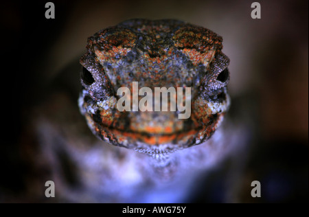 A lizard in Volcan Baru national park in the Chiriqui province, Republic of Panama. - Stock Photo