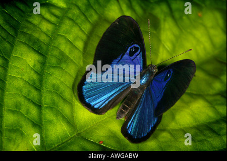 Blue butterfly near Cana field station in the Darien national park, Darien province, Republic of Panama. - Stock Photo