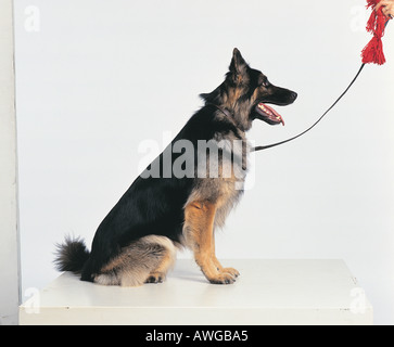 A German Shepherd dog - Stock Photo