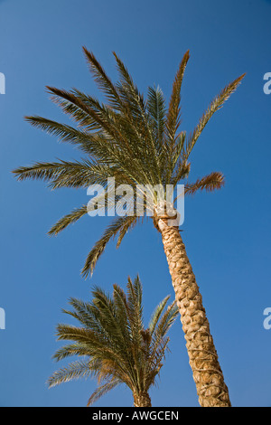 2 palm trees against a cloudless blue sky in Egypt - Stock Photo