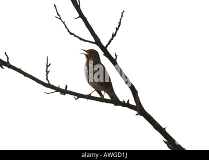 SONG THRUSH TURDUS PHILOMENOS SINGING IN ASH TREE WHITE BACKGROUND - Stock Photo