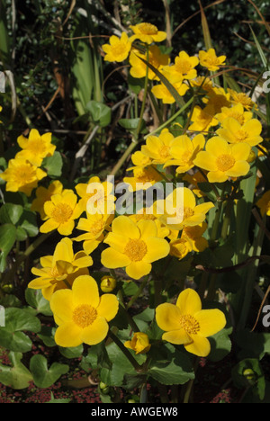 The yellow flowers of the Kingcup or Marsh Marigold (Caltha palustris), UK. - Stock Photo