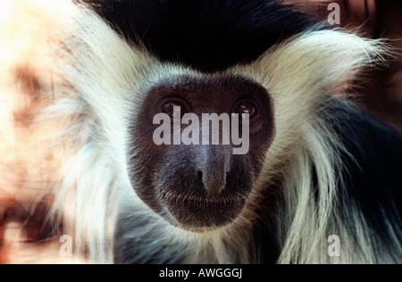 colobe d angola Angolan Black and White Colobus Monkey Mantelaffe Angola Stummelaffe Caption Angolan Black and White - Stock Photo