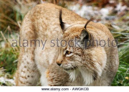 European Lynx in the Highland Wildlife Park near Aviemore, Scotland - Stock Photo