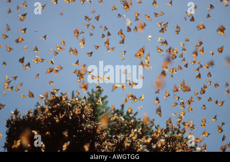 monarques Monarchfalter Monarchs Danaus plexippus on migration animals Arthropoda arthropods Edelfalter Gliederfuesser - Stock Photo