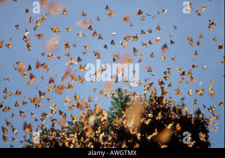 Monarch Butterfly , monarques Monarchfalter Monarchs Danaus plexippus on migration animals Arthropoda arthropods - Stock Photo