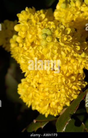 Achillea yellow flower - Stock Photo