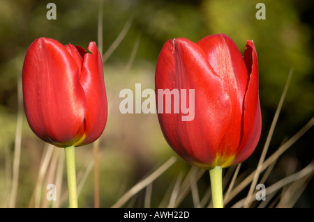 Tulip with red flower from different angles - Stock Photo