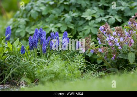 Grape Hyacinth Muscari atlanticum in garden Ringwood Hampshire England - Stock Photo