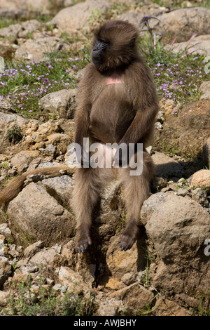 Young Male Gelada Babboon Sitting on a Rock, Simien Mountains National Park, Ethopia - Stock Photo