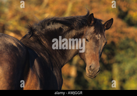 German Warmblood (Equus caballus). Mare looking back over her shoulder - Stock Photo