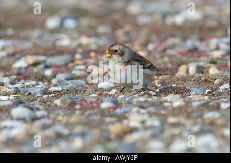 Snow Bunting Plectrophenax nivalis adult Salthouse Norfolk England March - Stock Photo