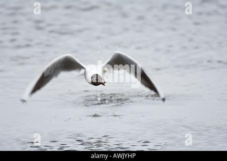 Black headed Gull Larus ridibundus adult on water Titchwell Norfolk East Anglia England March - Stock Photo