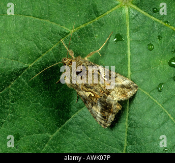 Silver Y Moth Autographa gamma moth on a leaf - Stock Photo