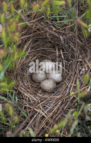 Crested Lark Galerida cristata grass-lined nest with four eggs in Lesvos, Greece in April. - Stock Photo