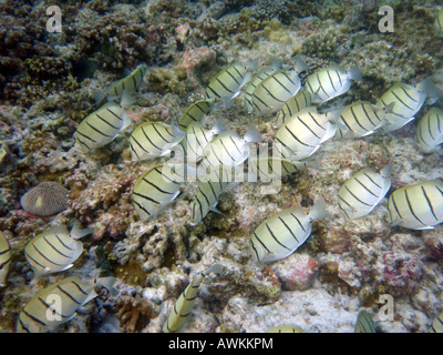 Convict Surgeonfish (Convict Tang)  [Bandos Island Reef, Kaafu Atoll, Maldives, Asia]                           - Stock Photo