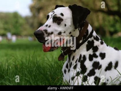 Dalmatian. - Stock Photo