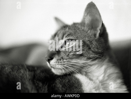 Cat's face, black and white - Stock Photo
