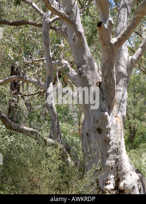 Brittle gum (Eucalyptus mannifera) - Stock Photo