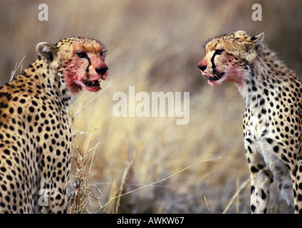 East African Cheetahs (Acinonyx jubatus raineyii) with blood-stained faces - Stock Photo