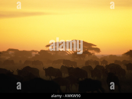 Africa, Tanzania, herd of Blue Wildebeests (Connochaetes taurinus) at sunset - Stock Photo