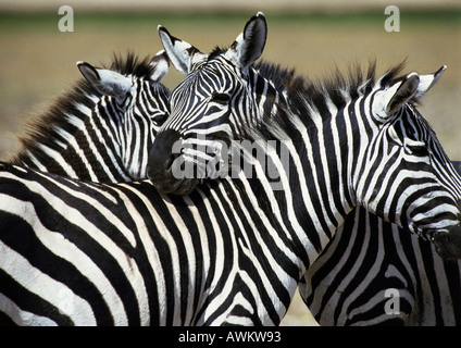 Africa, Tanzania, Plains Zebras (Equus quagga) - Stock Photo