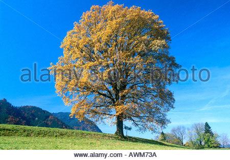 Tree on rural landscape against blue sky, Allgaeu, Bavaria, Germany - Stock Photo