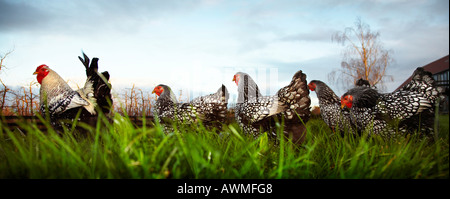 silver laced Wyandotte flock oringinating new york state freeranging on smallholding - Stock Photo