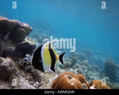 Moorish Idol [Bandos Island Reef, Kaafu Atoll, Maldives, Asia]                                                  - Stock Photo