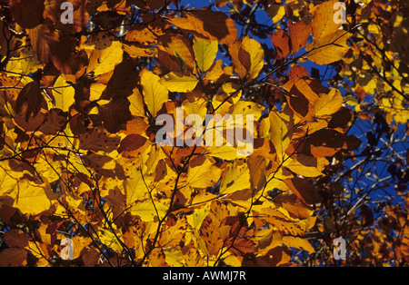 Common beech leaves in autumn colours (Fagus sylvatica) - Stock Photo