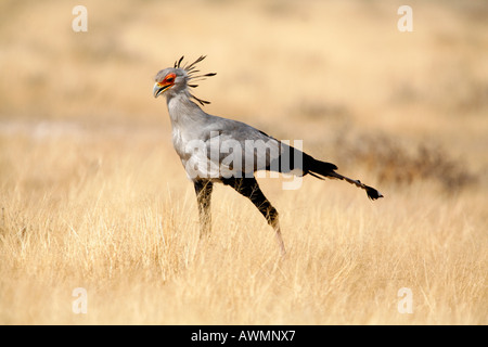 Secretary Bird Marching across Savannah Grassland in Africa. - Stock Photo