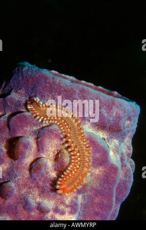 Bearded Fireworm (Hermodice carunculata) on a sponge (Porifera), Caribbean, Americas - Stock Photo