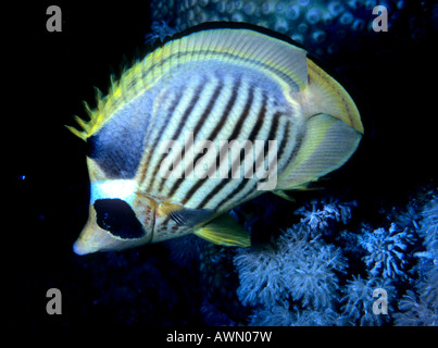 Diagonal Butterflyfish or Red Sea Raccoon Butterflyfish (Chaetodon fasciatus), Red Sea - Stock Photo