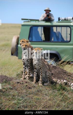 Three cheetahs (acinonyx jubatus ) in front of a jeep with photographer and camera, Masai Mara National Game Reserve, - Stock Photo