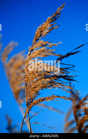Fenland Reedbeds Whittlesey Washes National Nature and Bird Reserve Cambridgeshire England Britain UK - Stock Photo