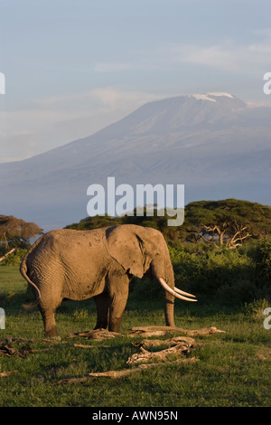 Classic African sunset and gentle light on roaming elephant in front of Mount Kilimanjaro, Tanzania, Africa - Stock Photo