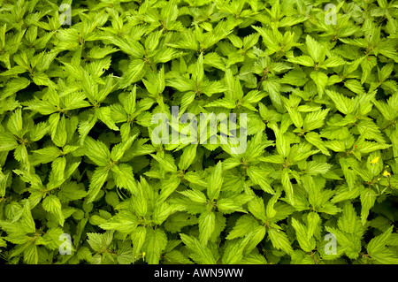 Patch of Stinging Nettles (Urtica dioica) - Stock Photo