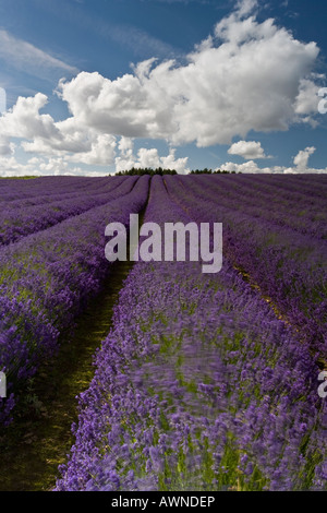 Gentle lines of Lavender leading to the trees and clouds of the afternoon - Stock Photo