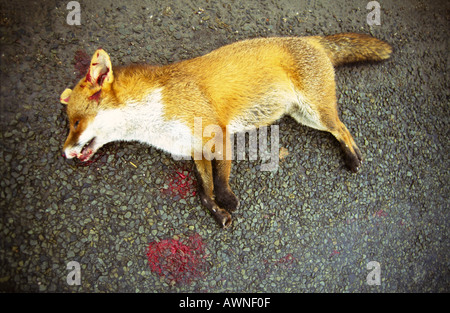 A dead fox lies on the road after being hit by a vehicle. - Stock Photo