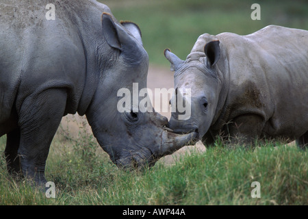 White Rhinoceroses Nuzzle in Lake Nakuru National Park Kenya - Stock Photo